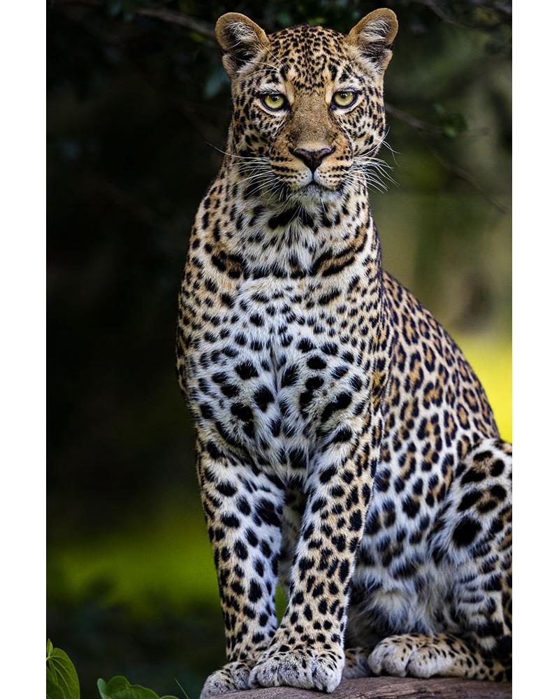 Perfection féline - photographie Véronique & Patrice Quillard  Le léopard : une petite merveille de la nature