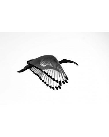 A travers l'aile - photographie Philippe Cabanel  Vol de l'Ibis à contre-jour