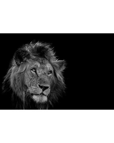 Rêverie - photographie Véronique & Patrice Quillard  Portrait de lion en N&B