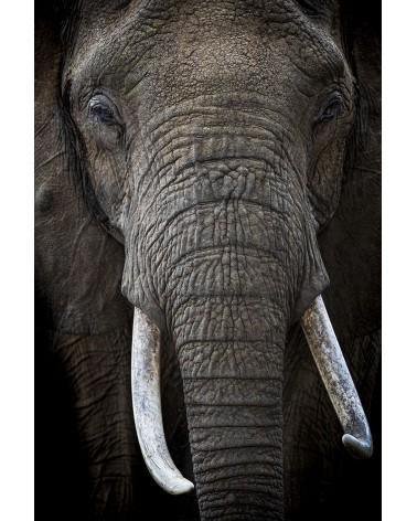 De cuir et d'ivoire - photographie Véronique & Patrice Quillard  Portrait d'éléphant