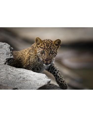 La découverte du monde - photographie Véronique & Patrice Quillard  Bébé léopard à la découverte de son environnement, quelq