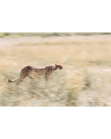 Pastel - photographie Véronique & Patrice Quillard  Filé flou de guépard dans les hautes herbes de la savane