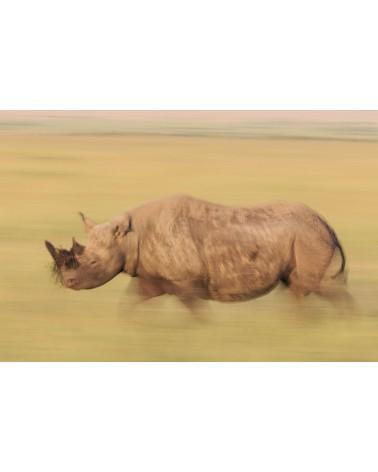 Le survivant - photographie Véronique & Patrice Quillard  Filé flou de rhinocéros noir dans les hautes herbes de la savane