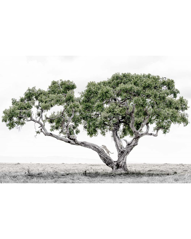 L'arbre et le guépard - photographie Philippe Cabanel  Guépard grimpant dans un arbre