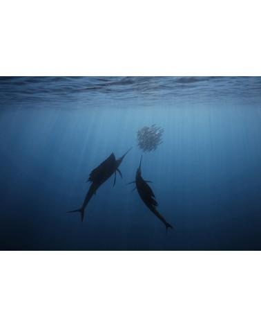 The Twins - photographie Fabrice Guérin Voiliers de l'Atlantique en contre jour chassant dans une boule de poissons