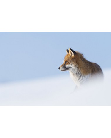 Bleu blanc roux - photographie Fabien Gréban   Renard roux sur la neige