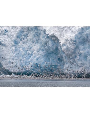 Envolée polaire - photographie Fabrice Guérin  Vol de mouettes tridactyles au pieds d'un glacier en plein cœur du pôle Nord.