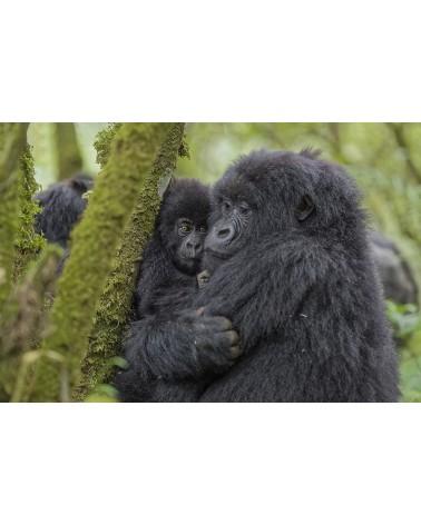 Tendresse - photographie Fabrice Guérin  Femelle gorille faisant un câlin à son bébé